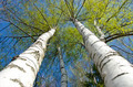 spring time birch tree with fresh leaves - PhotoDune Item for Sale
