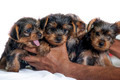 Yorkie puppy - PhotoDune Item for Sale