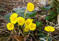 A few yellow flowers Coltsfoot - PhotoDune Item for Sale