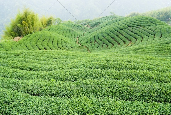 Tea trees on hill - Stock Photo - Images