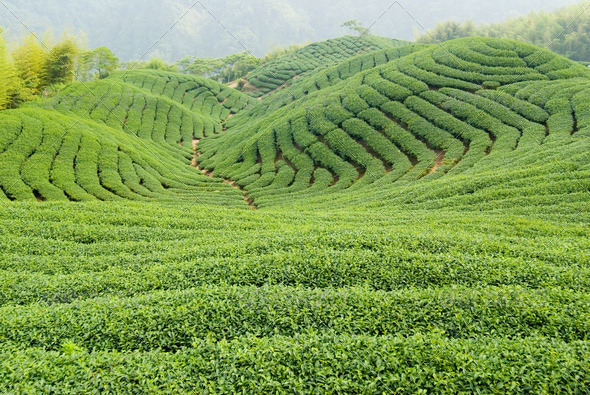 Tea farm - Stock Photo - Images