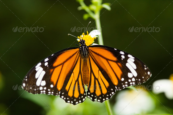 Butterfly opens its wings and feeds - Stock Photo - Images