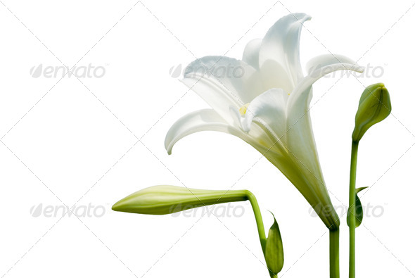 White lily - Stock Photo - Images