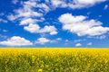 Flowering canola or rapeseed field - PhotoDune Item for Sale