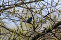 Indigo Bunting - PhotoDune Item for Sale
