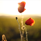 Wild Poppies 2 - VideoHive Item for Sale