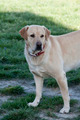 Adult Male Labrador Retriever Dog - PhotoDune Item for Sale