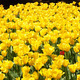 Yellow Tulips Line - PhotoDune Item for Sale