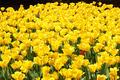 Yellow Tulips Line - PhotoDune Item for Sale