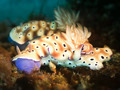 Two Nudibranches - PhotoDune Item for Sale