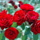 Red Roses on Plant - PhotoDune Item for Sale