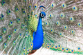 Peacock with tail fanned out - PhotoDune Item for Sale