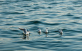 Group of Seagulls swimming in the sea - PhotoDune Item for Sale