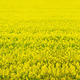 Rape seed field - PhotoDune Item for Sale