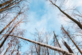 Bare winter forest on blue sky background. - PhotoDune Item for Sale
