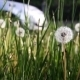 Dandelion in Wind 2 Slider - VideoHive Item for Sale