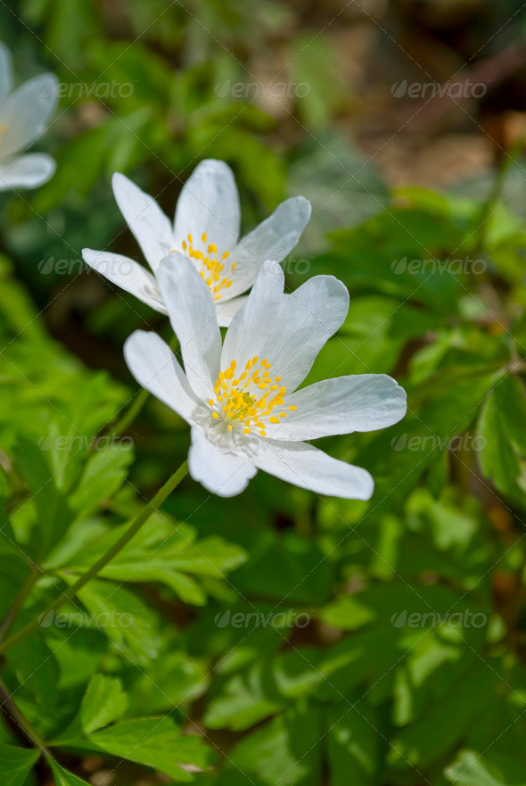Wood Anemone - Stock Photo - Images