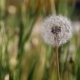 Dandelion in Wind 3 Slider - VideoHive Item for Sale