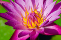Beautiful pink lotus flower blooming. And fresh green leaves in water. - PhotoDune Item for Sale