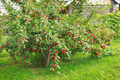 Apple tree under the weight of the fruit - PhotoDune Item for Sale