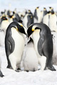 Emperor penguins (Aptenodytes forsteri) on the ice in the Weddell Sea, Antarctica - PhotoDune Item for Sale