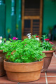 Parsley Plant - PhotoDune Item for Sale