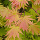 Japanese maple leaves - PhotoDune Item for Sale