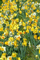 Patch of daffodils - PhotoDune Item for Sale