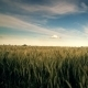 Wheat Field and Blue Sky - VideoHive Item for Sale