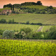 Vineyard near Montalcino, Tuscany, Italy - PhotoDune Item for Sale