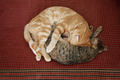 Two cats curled up - PhotoDune Item for Sale