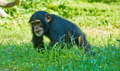 Baby Chimpanzee Walking in Grass - PhotoDune Item for Sale