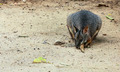 close up of a Red-necked Wallaby - PhotoDune Item for Sale