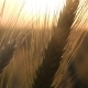 Wheat in Sun Close-up - VideoHive Item for Sale