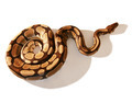 Ball Python - PhotoDune Item for Sale