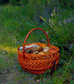Basket of Mushrooms - PhotoDune Item for Sale