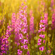 Purple wild flowers in sunlight - PhotoDune Item for Sale