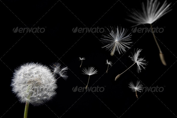 Stock Photo - PhotoDune Dandelion with floating seeds 502181