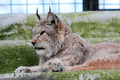 European lynx in the cage of a zoo - PhotoDune Item for Sale