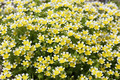 Limnanthes douglasii - PhotoDune Item for Sale