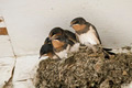 swallow nest with chicks - PhotoDune Item for Sale