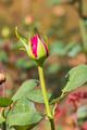 Pink rose bud - PhotoDune Item for Sale