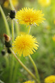 Yellow dandelions - PhotoDune Item for Sale