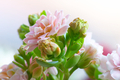 Pink kalanchoe #3 - PhotoDune Item for Sale