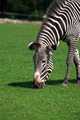 Zebra Eating Grass - PhotoDune Item for Sale