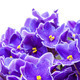 Beautiful Purple Violet Flowers - PhotoDune Item for Sale