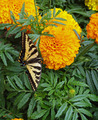 A Yellow and Black Monarch Butterfly on a Flower - PhotoDune Item for Sale