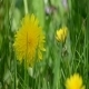 Close-up Fresh Dandelion  - VideoHive Item for Sale