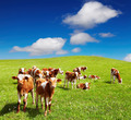 Grazing calves - PhotoDune Item for Sale