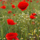 Poppies on green field - PhotoDune Item for Sale